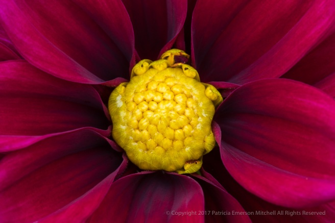 Burgundy_&_Yellow_Dahlia,_8.3.17.jpg