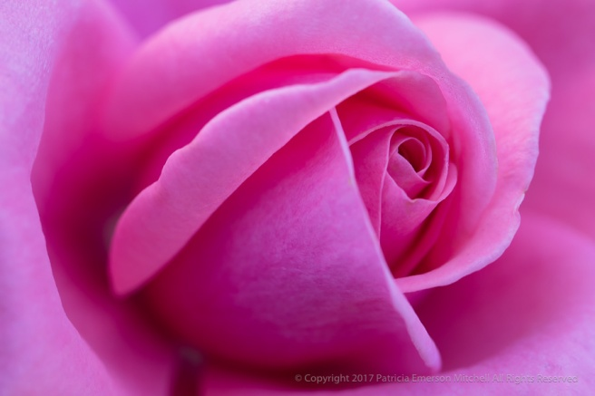 PInk_Rose,_11.13.17.jpg