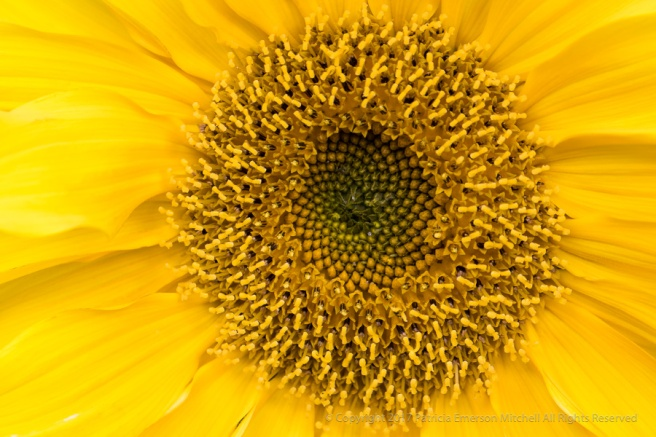 Sunflower,_11.14.17.jpg
