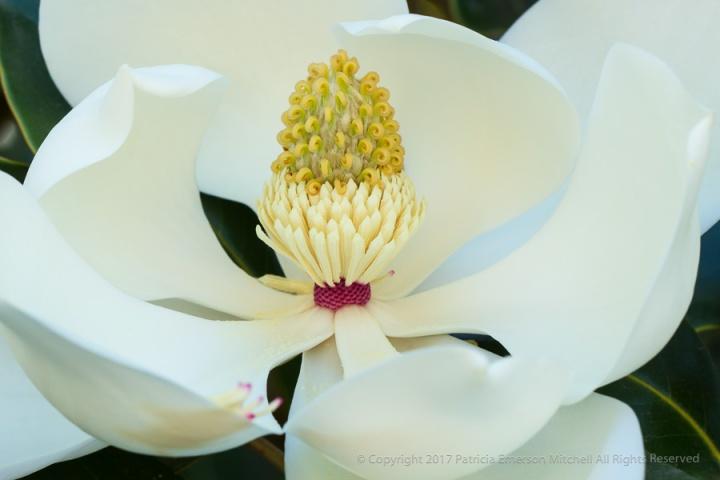 White_Magnolia,_6.21.17.jpg