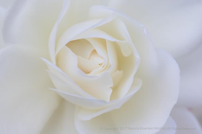White_Rose,_(III),_11.7.17.jpg