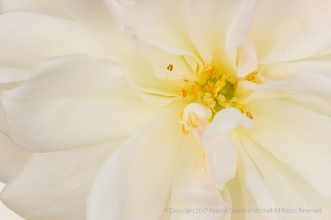 White_Rose_with_Yellow,_12.13.16.jpg