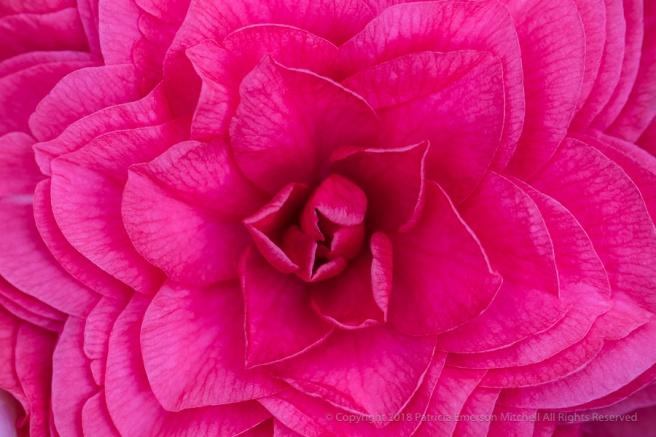 Bright_Pink_Camellia,_1.15.18.jpg