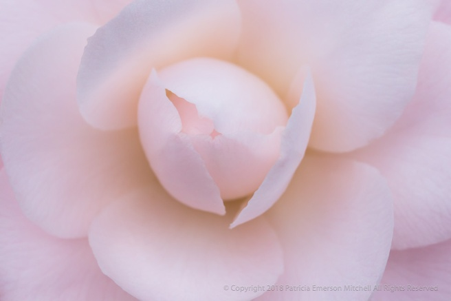 First_Shot-_Pale_PInk_Camellia,_1.15.18.jpg