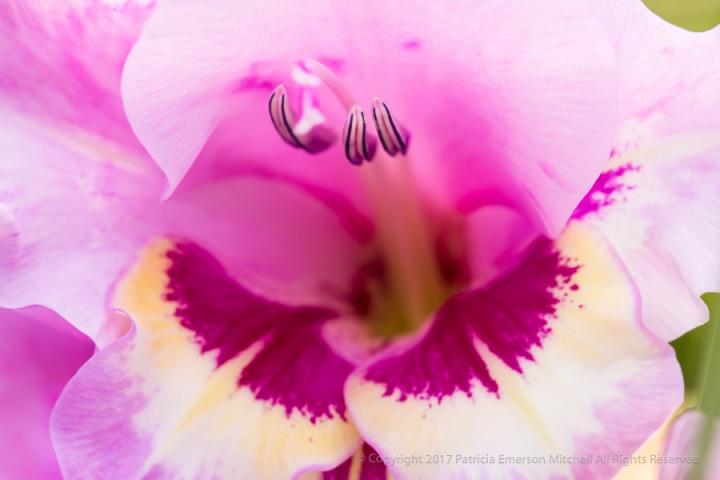 Gladiolus_Anthers,_6.5.17.jpg