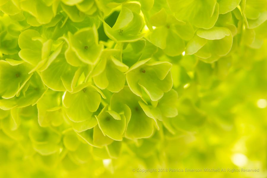 Green_Hydrangea,_4.3.17.jpg