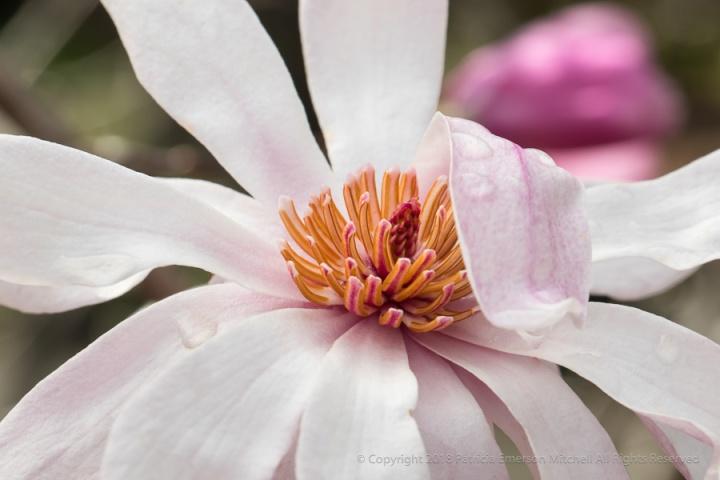 Magnolia_Flower,_1.19.18.jpg