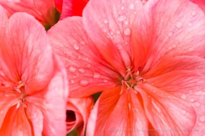 Orange_Geraniums,_12.14.16.jpg