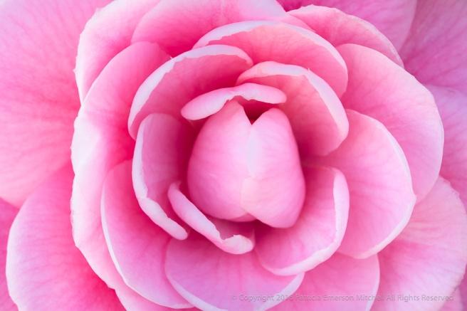 Pink_Camellia_(I),_1.12.18.jpg