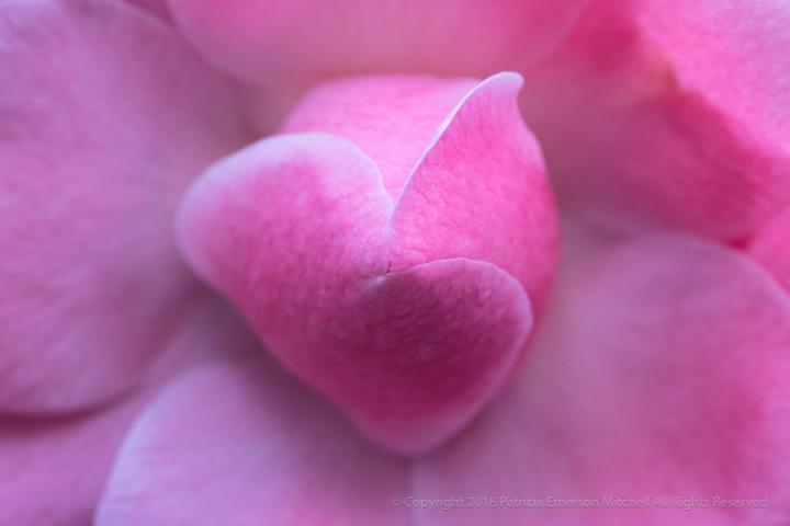 Pink_Camellia_(I),_1.5.18.jpg