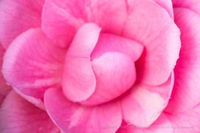 Pink_Camellia_(II),_1.12.18.jpg