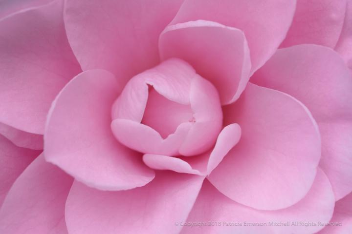 Pink_Camellia_(III),_1.5.18.jpg