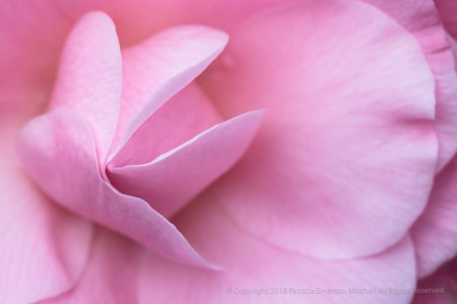 Pink_Camellia_(IV),_1.5.18.jpg