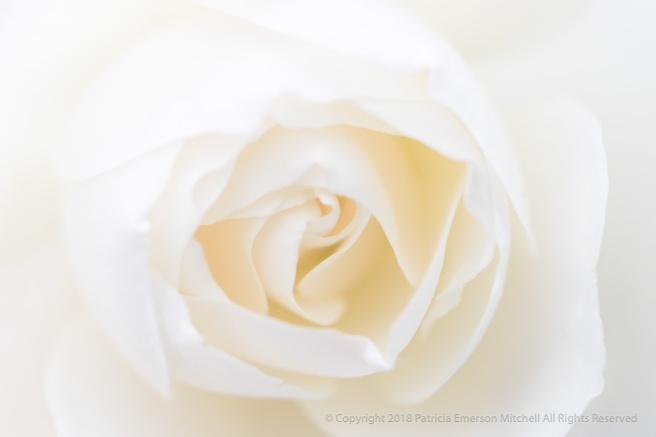 Soft_White_Rose,_1.2.18.jpg