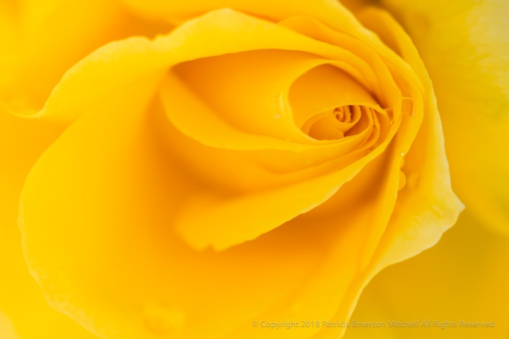 Yellow_Rose_with_Raindrops,_4.20.17.jpg