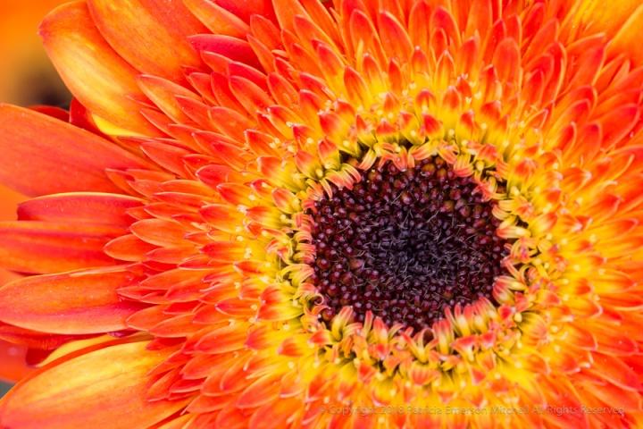 Carolyn's__Orange_&_Yellow_Gerbera,_5.3.17.jpg