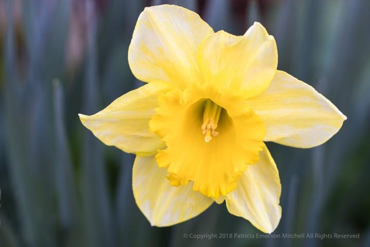 First_Shot-_Yellow_&_White_Daffodil,_2.7.18.jpg