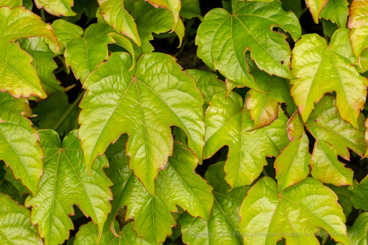 Green_Leaves_with_Red_Edges,_4.24.17.jpg