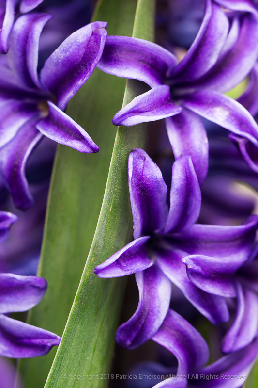 Hyacinth_Flowers_&_Leaf,_3.7.17.jpg