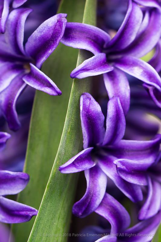 Hyacinth_Flowers_&_Leaf,_3.7.17.jpg