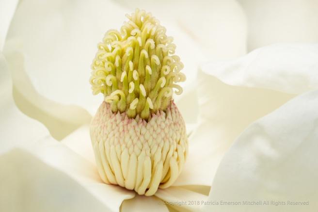 Magnolia,_1.12.17.jpg
