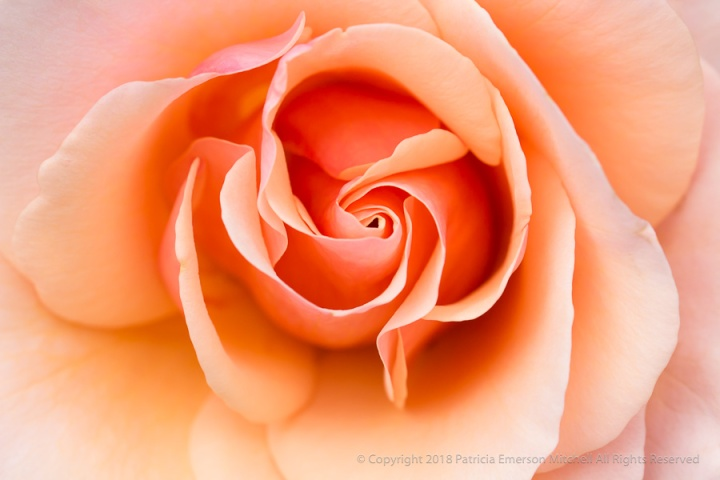 Mother_Of_Pearl_Rose_(I),_6.12.17.jpg
