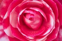 Pink & White Camellia, 2.12.18