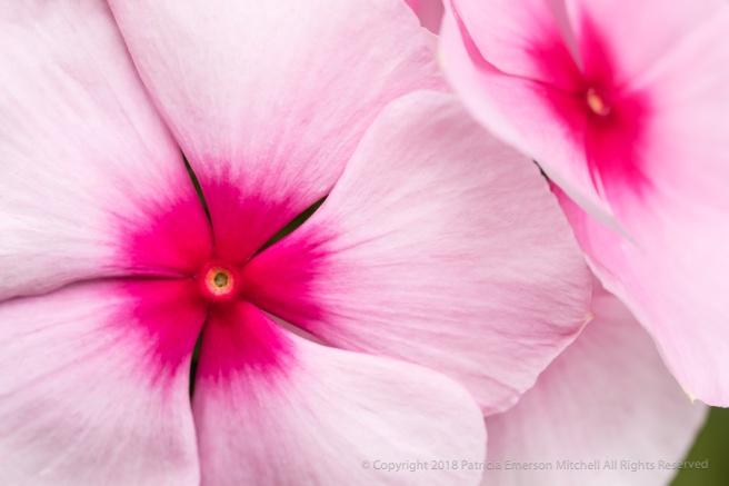 Pink_Impatiens_Flowers,_8.3.17.jpg