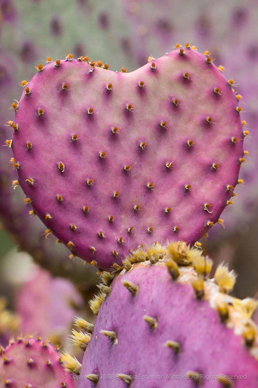 Prickly_Pear_Heart,_5.15.17.jpg