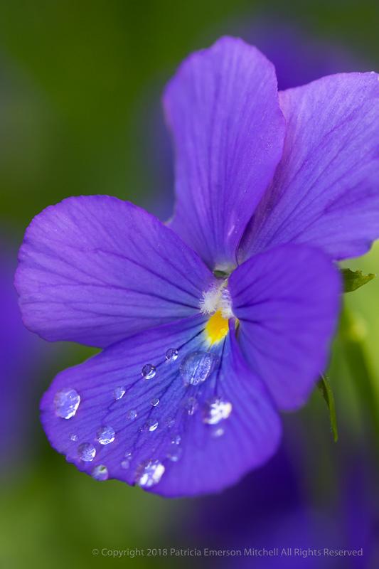 Purple_Viola_with_Water_Drops,_4.4.17.jpg