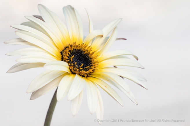 White_Osteospermum_against_Nearly_White,_2.7.18.jpg