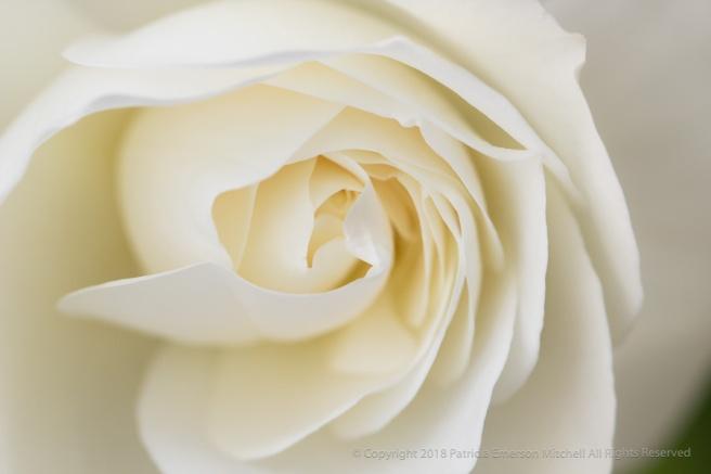 White_Rose_(I),_4.24.17.jpg