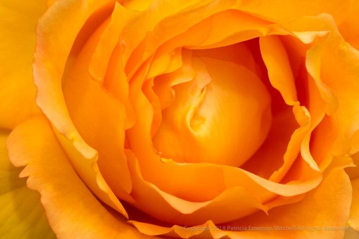 Yellow-Orange_Rose,_4.19.17.jpg