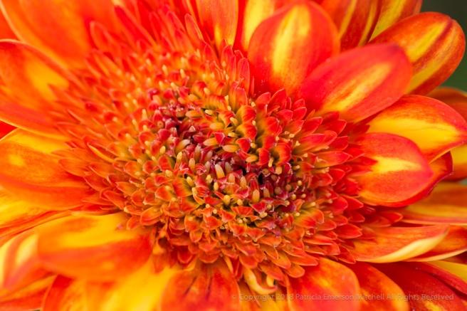 Carolyn's__Orange_&_Yellow_Gerbera_(II),_5.3.17.jpg