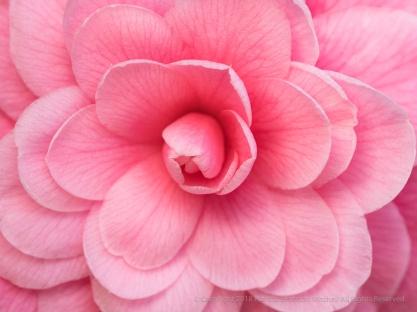 Light Pink Camellia, 2.5.18