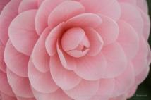 Light Pink Camellia (I), 3.9.18