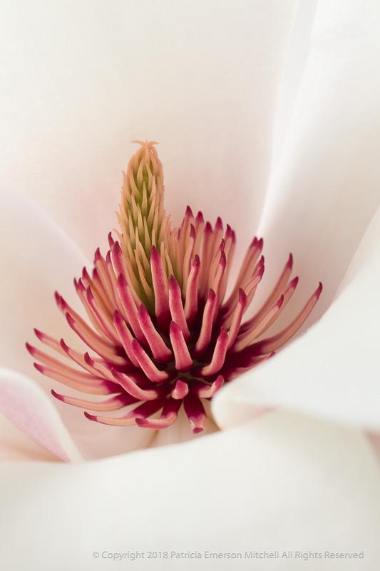 Magnolia Blossom, 3.7.18
