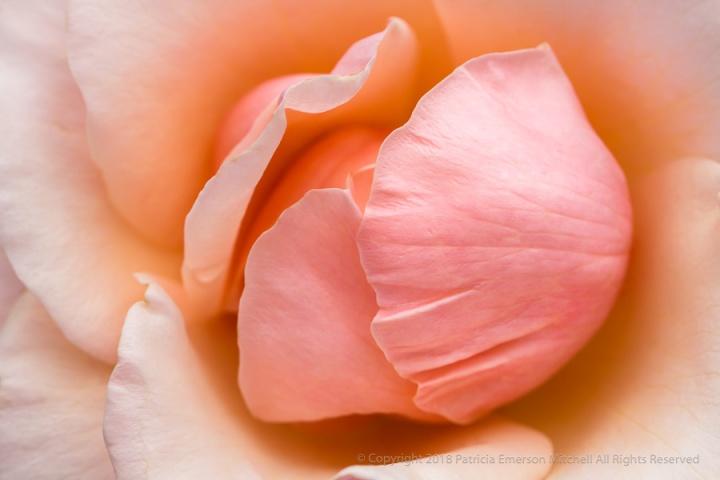 Mother_Of_Pearl_Rose_(II),_6.12.17.jpg
