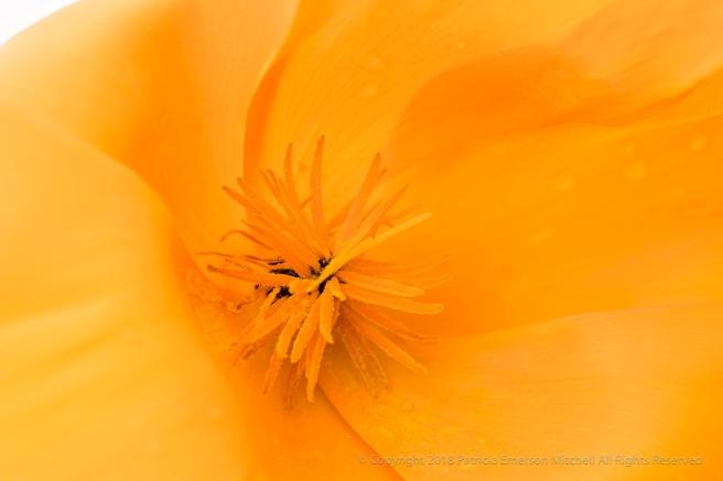 Orange_Poppy,_3.2.18.jpg