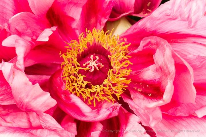 Peony,_Pink,_White_&_Yellow,_4.11.17.jpg