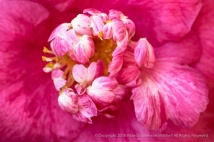 Pink & White Camellia, 2.23.16