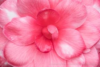 Pink_&_White_Camellia,_3.12.18