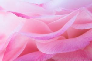 Pink & White Camellia Petals, 2.7.18
