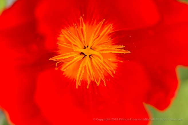 Red-Orange_Poppy,_4.20.17.jpg