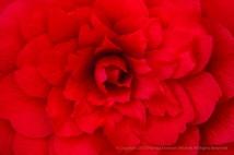 Red Camellia, 3.7.17