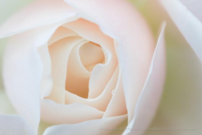 Soft_Rose,_1.11.18.jpg