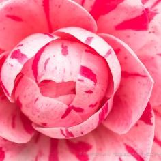 Variegated Camellia, 3.7.17