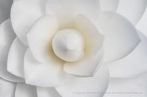 White Camellia (I), 1.19.18