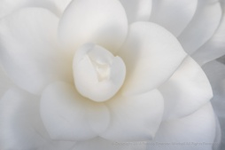 White Camellia (II), 1.19.18