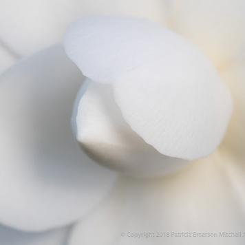 White Camellia (II), 2.7.18